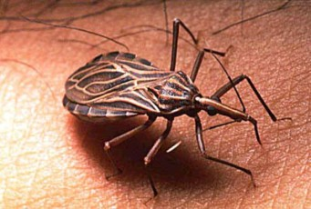 Insects Triatomine - Triatome -Triatoma -Triatominae - chagas